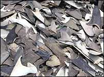 Shark fins confiscated from a fishing boat in waters around the Galapagos in 1998