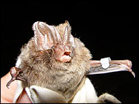 Female Barbastelle bat   Ian Davidson-Watts