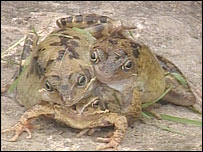 http://newsimg.bbc.co.uk/media/images/39920000/jpg/_39920559_frog.jpg