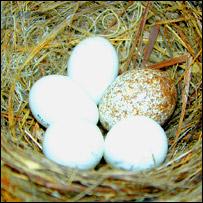 Eggs, copyright Màrk E. Hauber