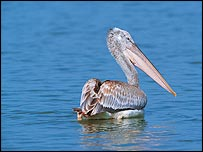 Dalmatian pelican   RSPB