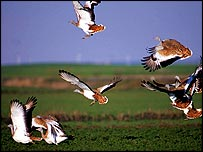 Great bustards in flight   RSPB