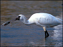 Black-faced spoonbill   Martin Hale