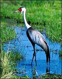 Wattled crane   Marco Lambertini/BirdLife