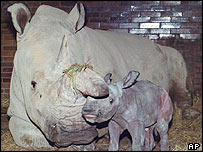 Northern white rhino, AP