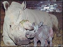 Northern white rhino, AP