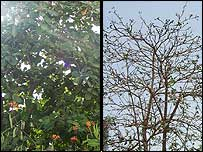 Before and after pictures of a rubber tree in Nouakchott