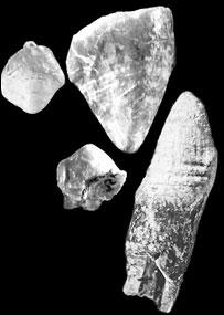 Arthipithicus kadabba teeth, Tim White/Brill Atlanta