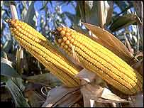 Corn cobs   Monsanto