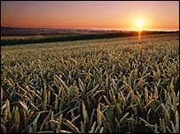 Grainfield at sunrise - Monsanto