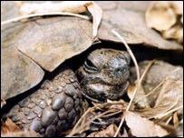 A Mediterranean spur-thigh tortoise