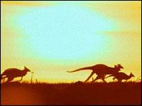 kangaroos in the sun set