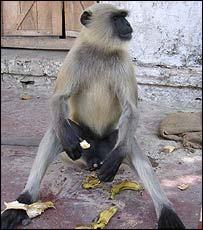 Monkeys in Keshabpur, Bangladesh