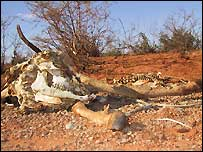 A dead goat in Somalia