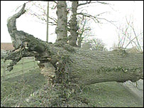 Tree blown down in the winds