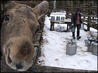 Dairymaid Ekaterina Goltsova prepares to milk