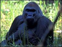 Western gorilla, Noel Rowe/Primate Conservation/Elsevier