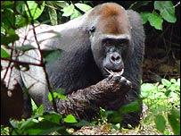 Western gorilla, Roberta Salmi/Elsevier