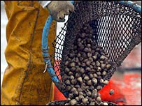Cockles being poured from a net