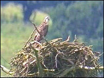 The only osprey chick in Wales : picture Steve Phillipps for the Welsh Wildlife Trusts