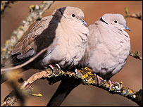 Collared doves,  RSPB-images/Chris Knights