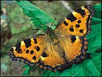 Large Tortoiseshell, Butterfly Conservation