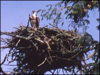 The first osprey in Wales : picture Steve Phillipps for Welsh Wildlife Trusts
