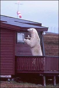 Polar bear breaking into cabin