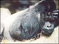 Eastern lowland gorilla, Conservation International