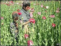 Poppy field north of  Kandahar