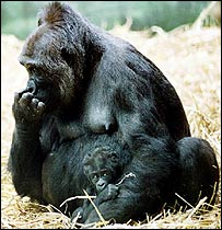 Lowland gorilla, PA