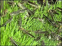 Locusts on the ground, BBC