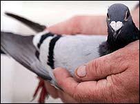 A racing pigeon
