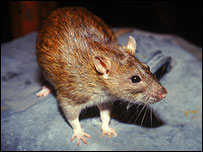 Brown rat, Nature Picture Library