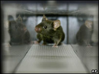 A modified mouse prepares to run on a treadmill (AP)