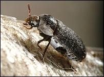 Carrion beetle (NHM)