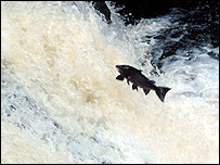 Salmon leaping the Falls of Shin, pic by Allan Crossland, Drumnadrochit