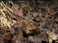Toad (library picture)