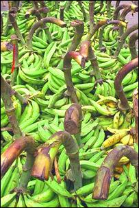 في الوقت الحالي، يذهب معظم المحصول السنوي الأسترالي من الموز سدى