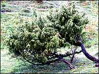 Juniper shrub   Bob Gibbons/Plantlife