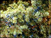 Juniper berries   Plantlife
