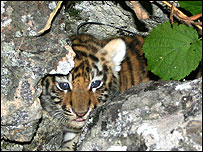 Siberian tiger cub peers out from its den (Image: John Goodrich/Wildlife Conservation Society)