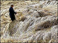 Farmer stands amid flattened crops