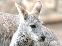 Kangaroo, BBC