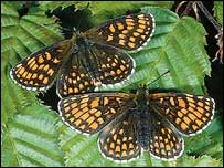 Heath Fritillary butterfly (Photograph Alan Barnes - Butterfly Conservation)
