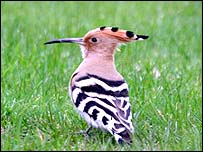Hoopoe (photo courtesy Lucinda Manouch)