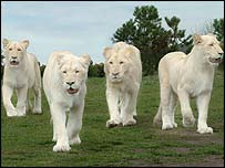 The rare pride at West Midlands Safari Park