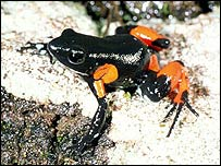Harlequin mantella, Image by Franco Andreone