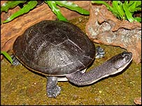 Snake-necked turtle (picture by Oliver Roempp)