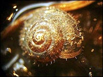 German hairy snail